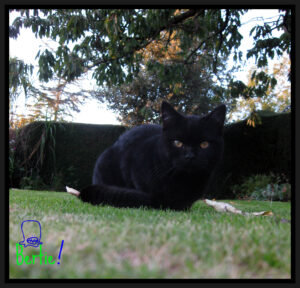 Black-Cat-Crouching-On-Grass-Bertie-Withy-Grove-Vets-Preston-hyperthyroidism-in-cats