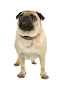 Pug-HMP-Veterinary-Dog-Food
