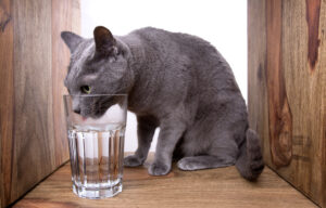 British cat drinking from a glass.