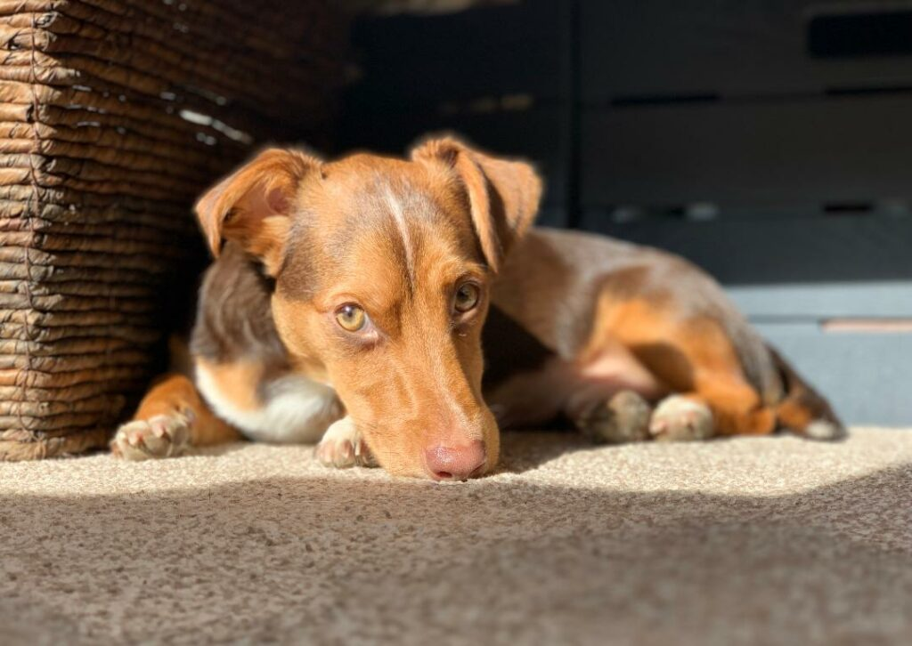 Dog lies on the carpet.