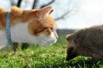 Cat meets hedgehog.