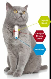 Cat thyroid gland.