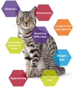 Cat with hyperthyroidism symptoms infographic.