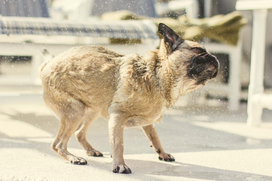 Pug shakes off water.