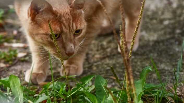 Orange cat prowling through the grass.