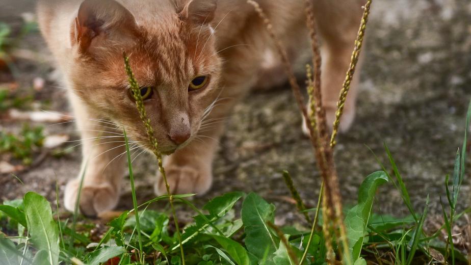 Orange cat prowling through the grass.