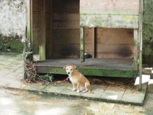 Sad chained dog outside.