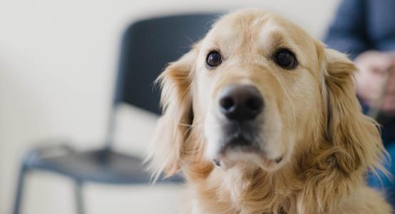 Labrador retriever dog looking in camera.