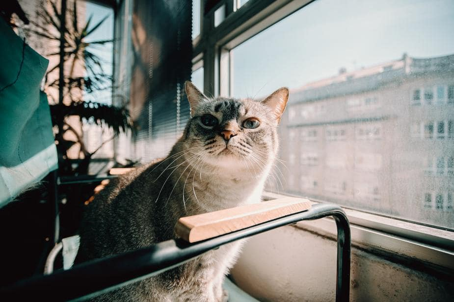 Staring cat by the window.